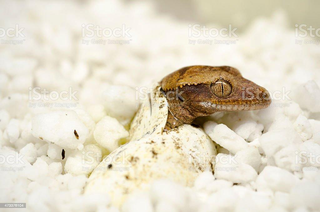 crested gecko, Correlophus ciliatus, egg hatching stock photo