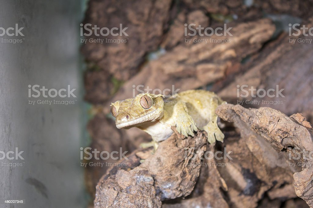 Crested Gecko in terrarium royalty-free stock photo