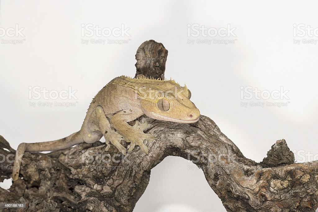 Crested Gecko on the branch royalty-free stock photo