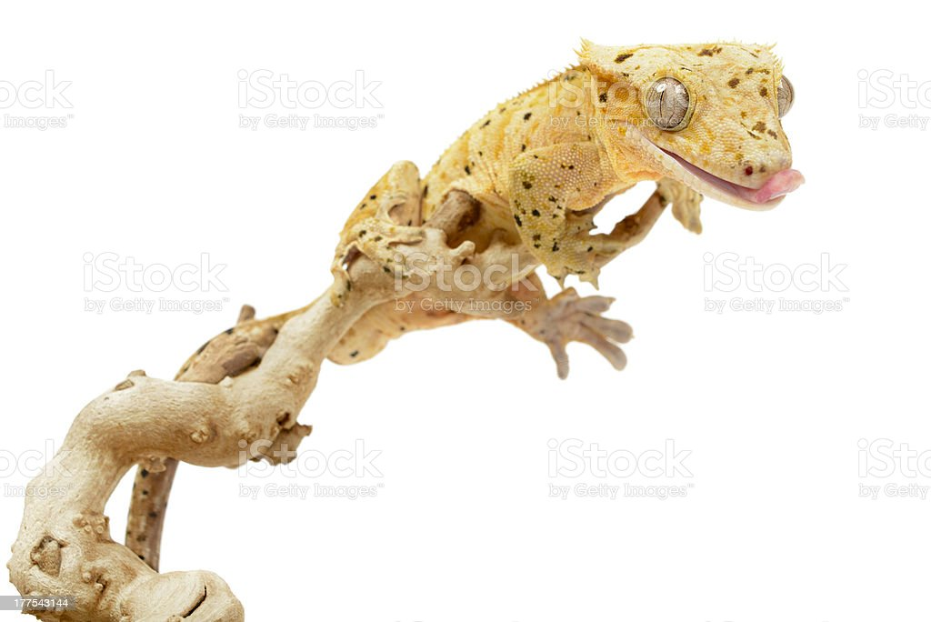 Crested Gecko royalty-free stock photo
