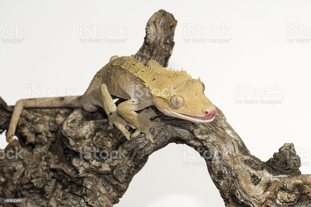 Crested Gecko with tongue out. royalty-free stock photo