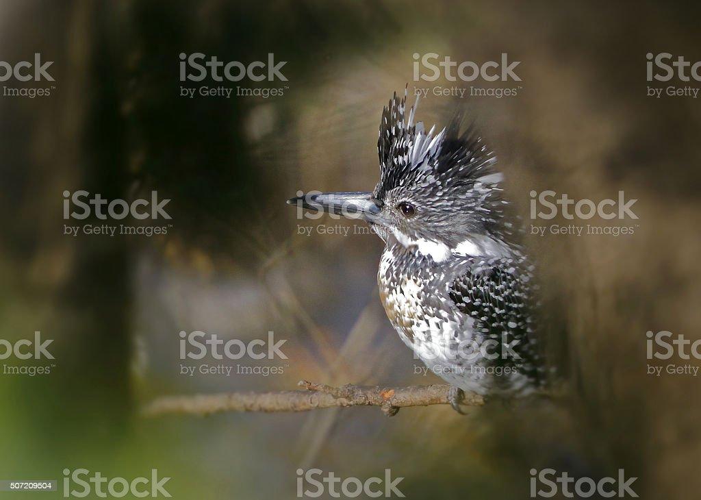 Crested kingfisher stock photo