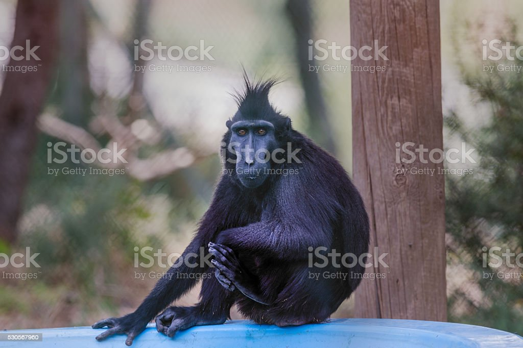 Crested macaque portrait. stock photo