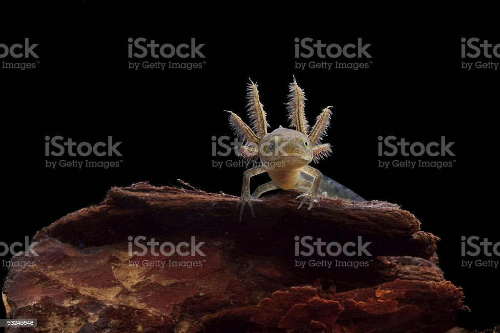crested newt larve stock photo