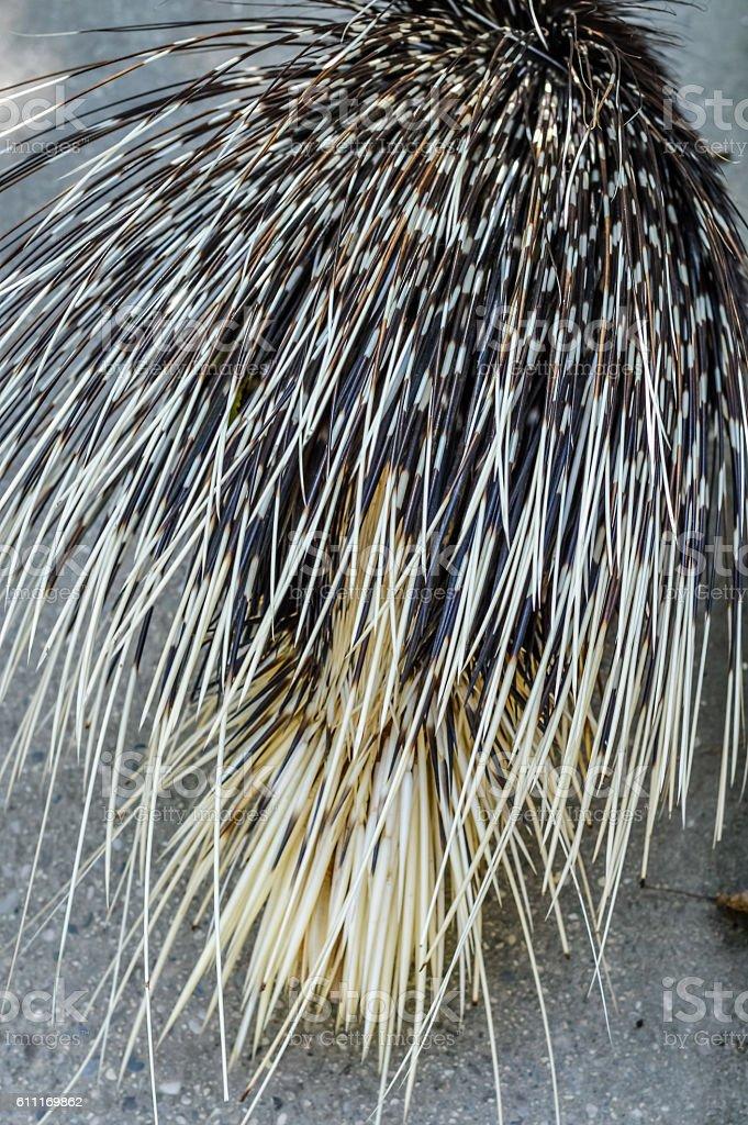 Crested porcupine back view - Hystrix cristata stock photo