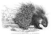 Crested porcupine engraving 1896
