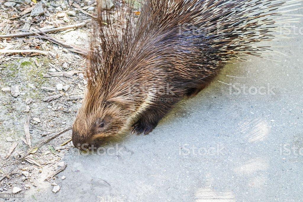Crested porcupine  - Hystrix cristata stock photo