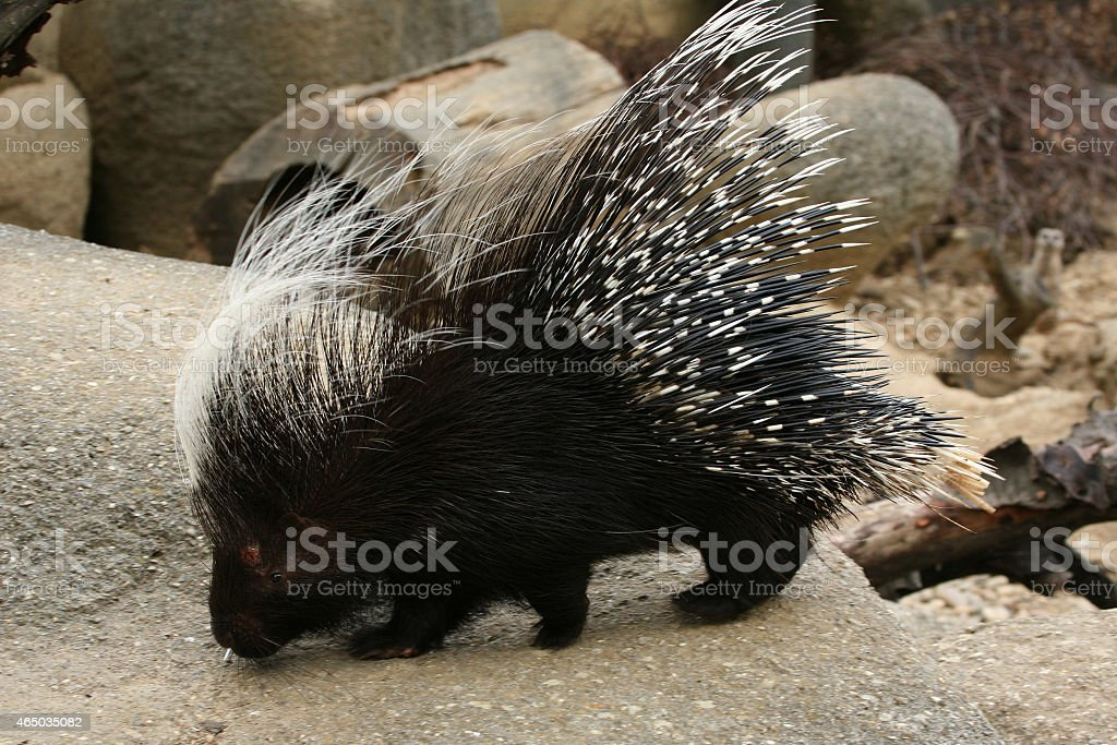 Crested porcupine stock photo