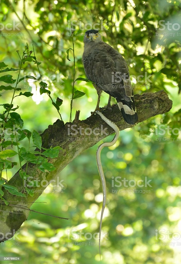 Crested Serpent Eagle stock photo