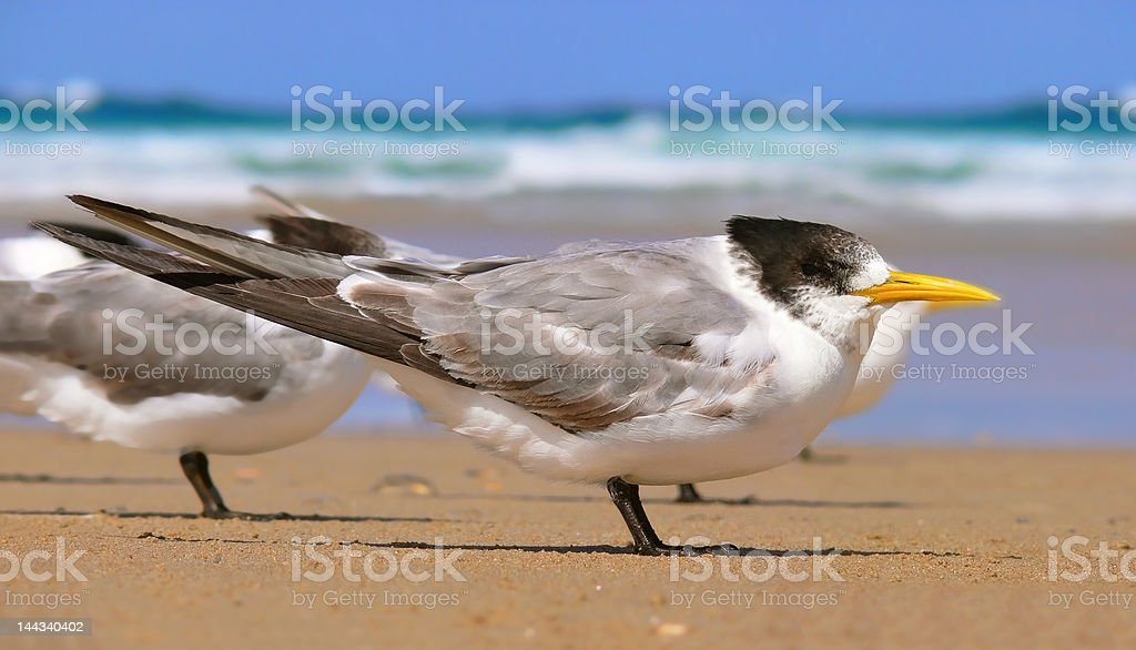 Crested tern royalty-free stock photo