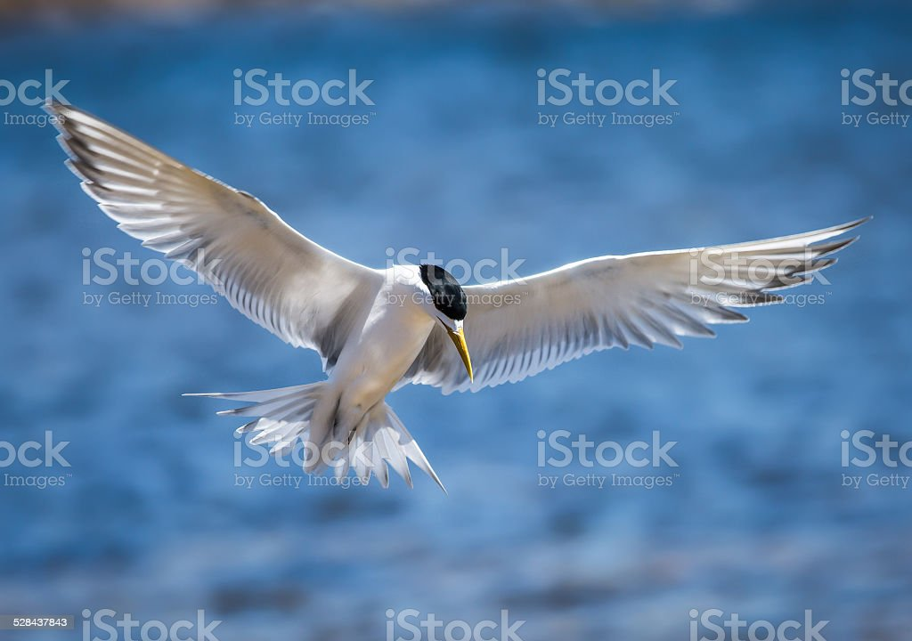Crested Tern stock photo