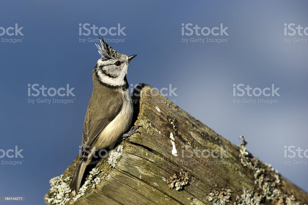 Crested Tit (Parus cristatus) on the edge royalty-free stock photo