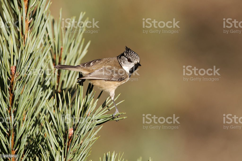 Crested tit, Parus cristatus royalty-free stock photo