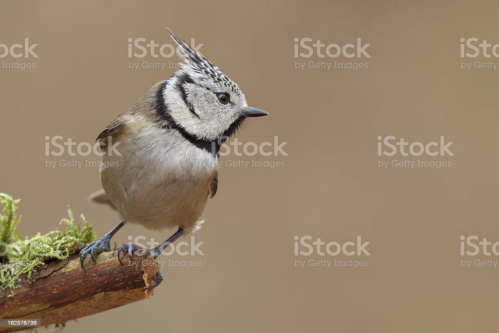 Crested tit  (Lophophanes cristatus) royalty-free stock photo