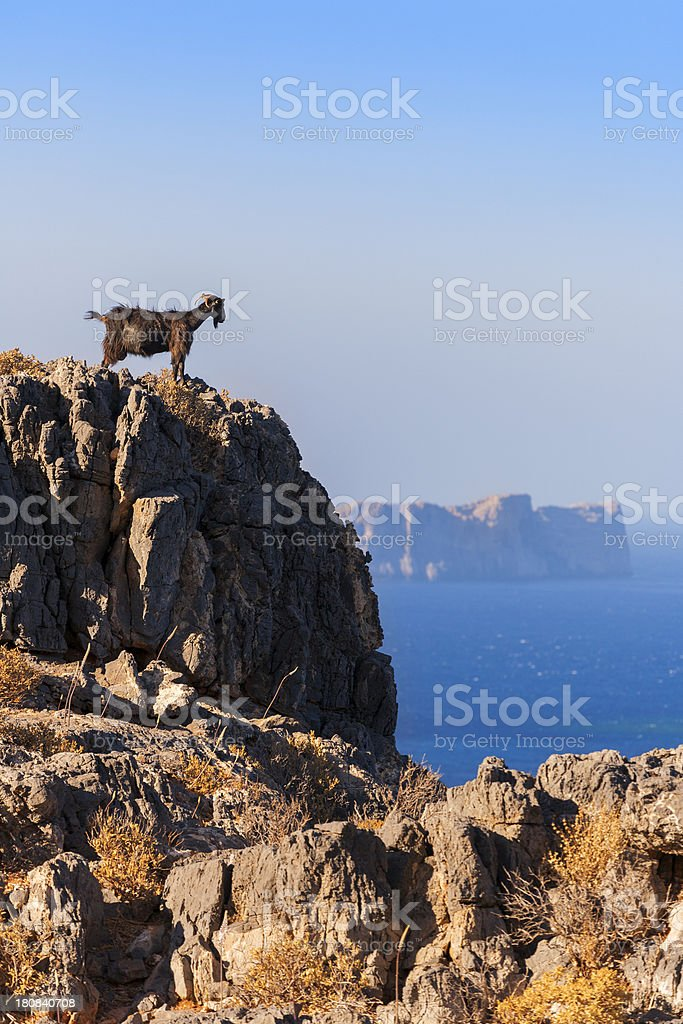Cretan goat Kri-kri stock photo