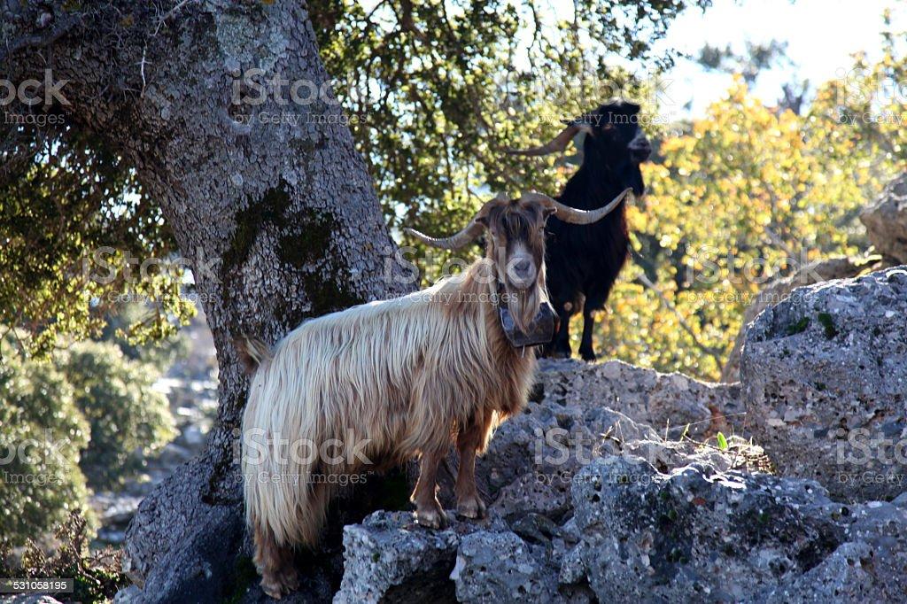 Cretan Goats stock photo