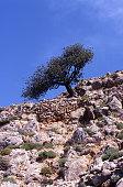 Crete olive tree