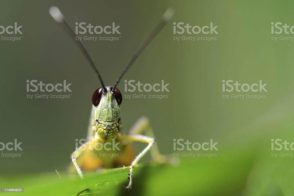 Cricket head close-up royalty-free stock photo
