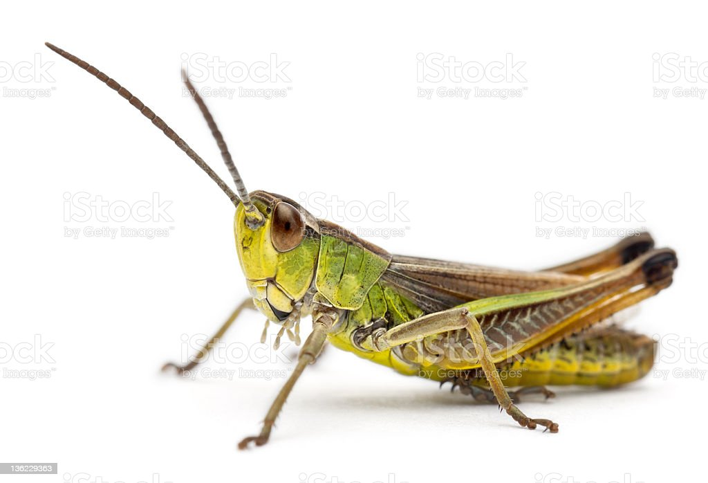 Cricket in front of white background stock photo