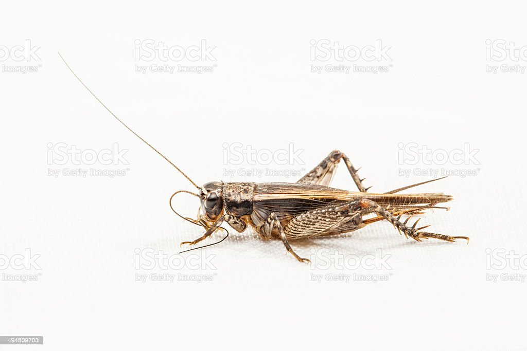 cricket insect stock photo