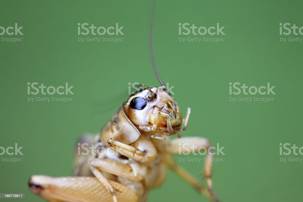 cricket nymphs royalty-free stock photo