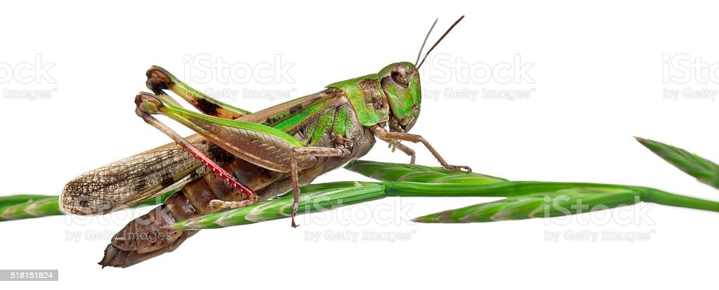 Cricket on a herb in front of white background stock photo