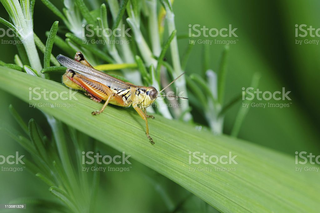 cricket on blade of grass royalty-free stock photo