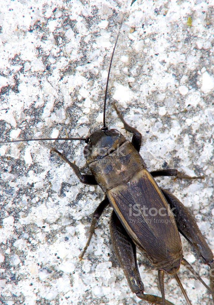 Cricket on Concrete royalty-free stock photo