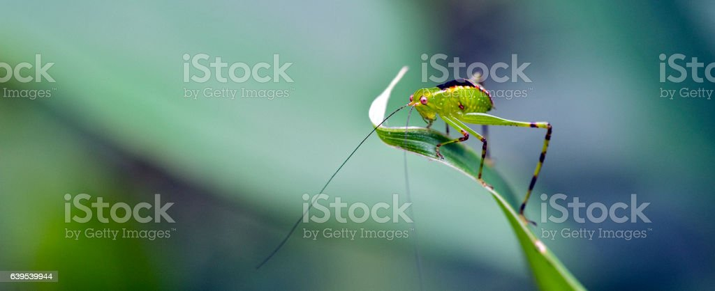 Cricket on green leaf stock photo