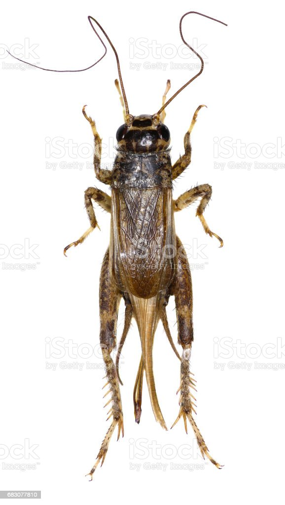Cricket (insect) on white Background  -  Eumodicogryllus bordigalensis (Latreille, 1804) stock photo
