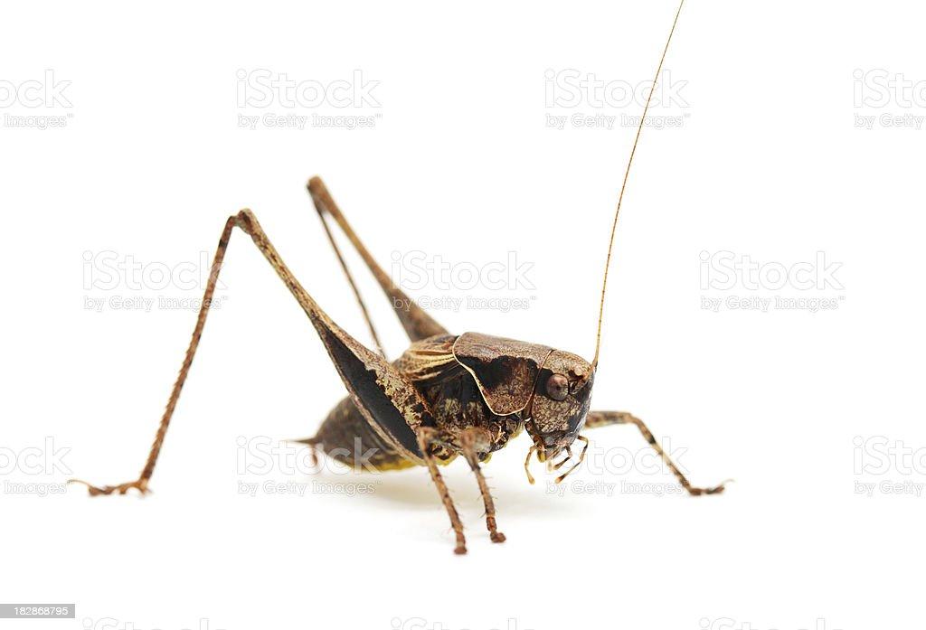 Cricket on white background royalty-free stock photo