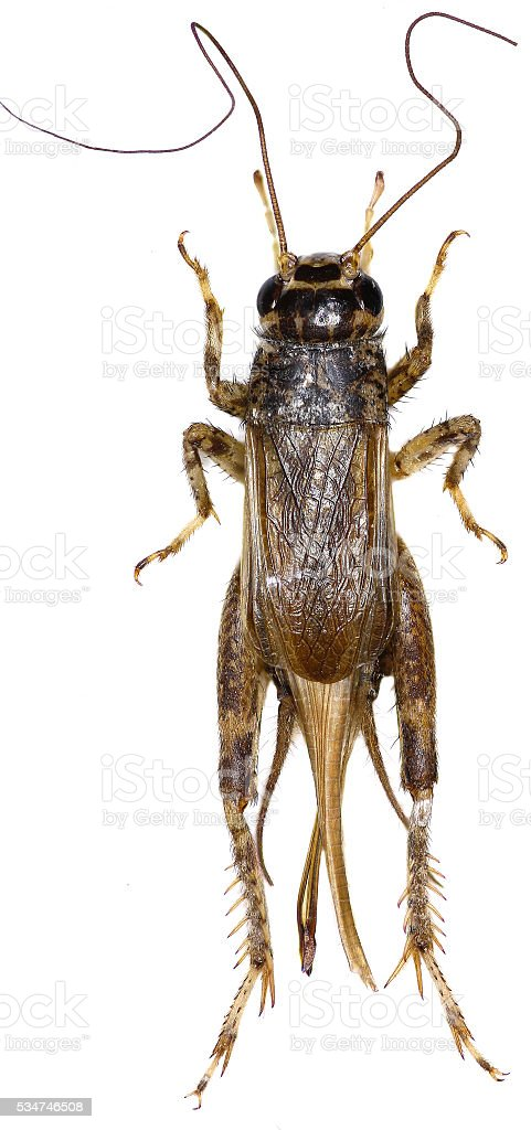 Cricket (insect) on white Background stock photo
