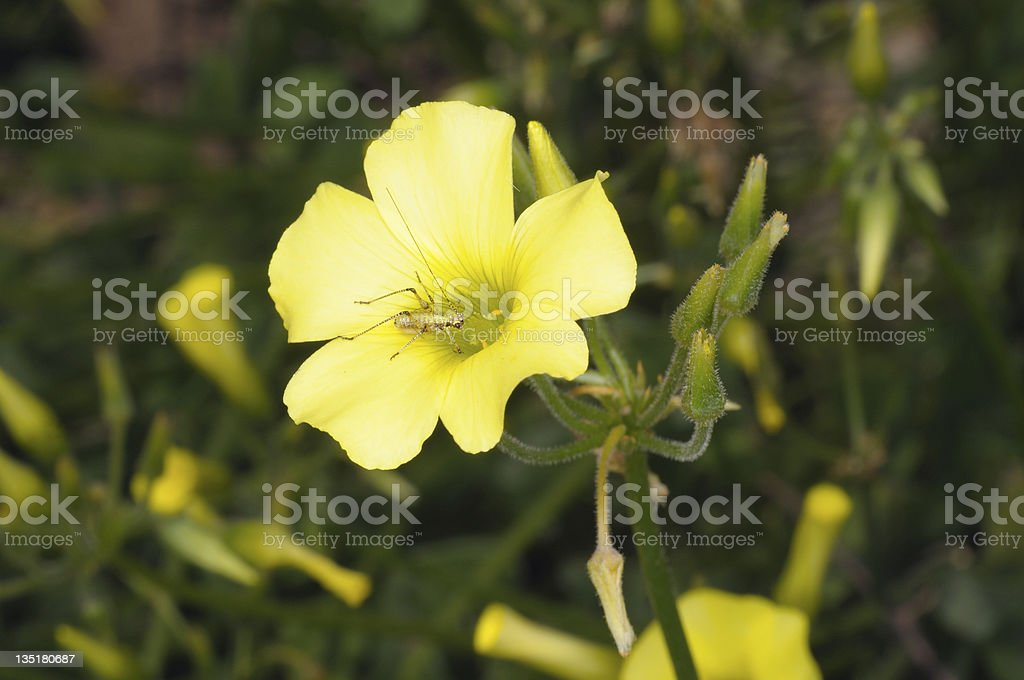 Cricket on yellow flower royalty-free stock photo