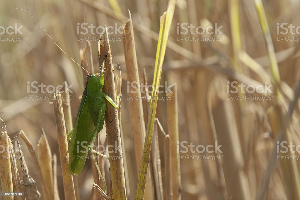 Cricket royalty-free stock photo