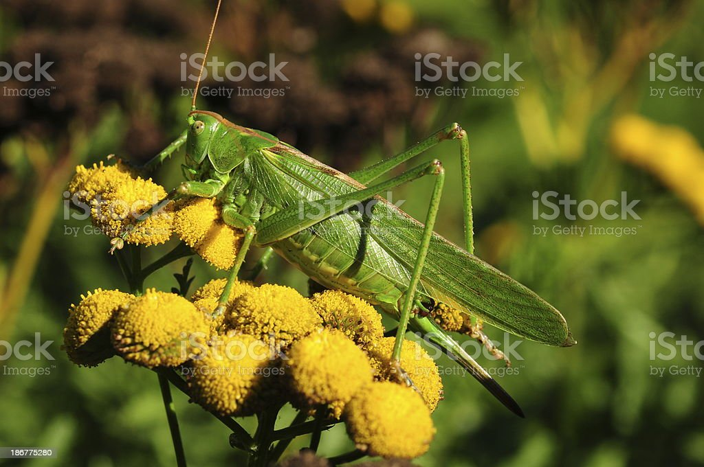 Cricket, U.K. royalty-free stock photo