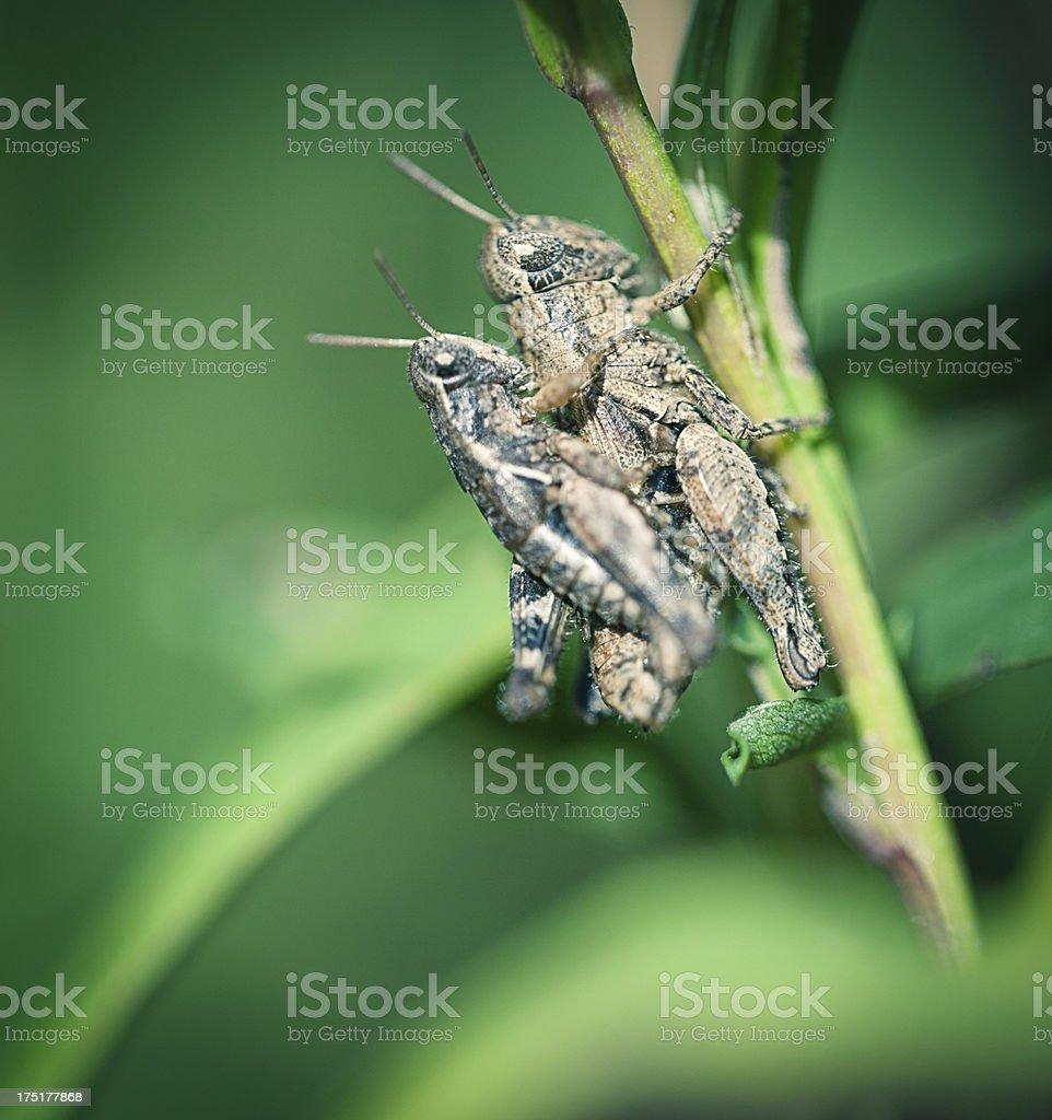 Crickets royalty-free stock photo