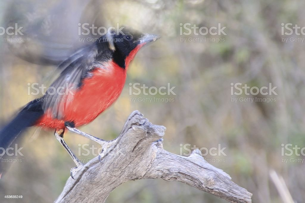 Crimson Breasted Shrike - Flutter of Color from Africa royalty-free stock photo