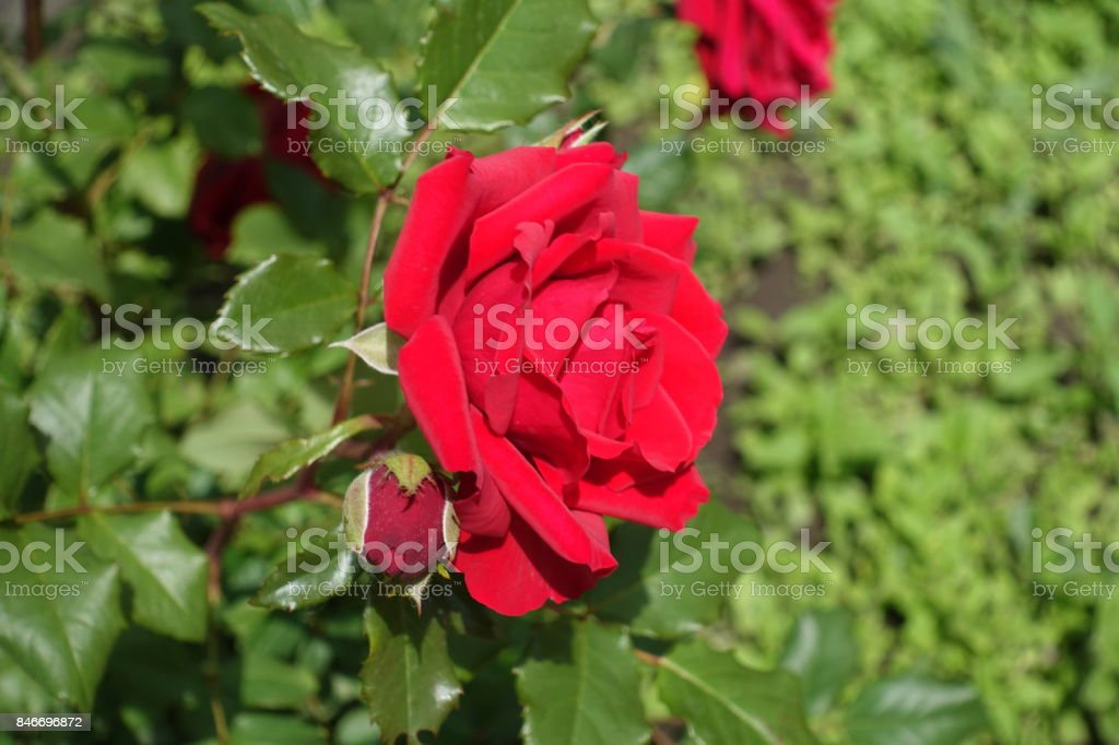 Crimson flower and closed bud of rose from the side stock photo