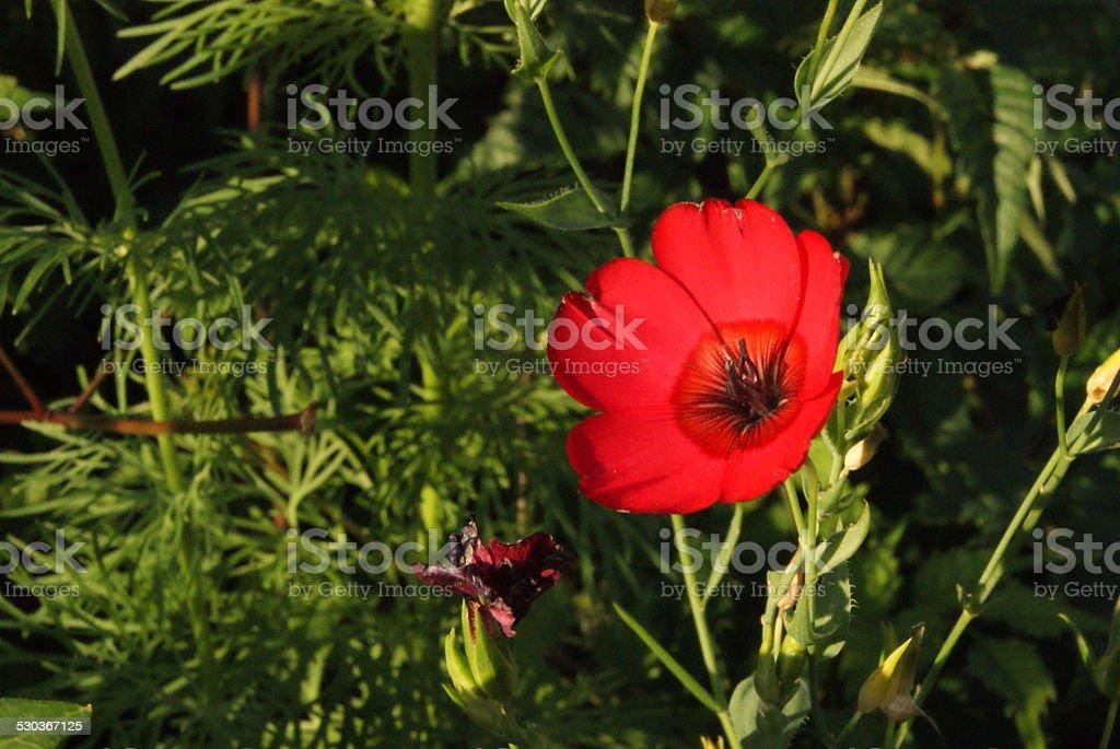 Crimson Kiss royalty-free stock photo