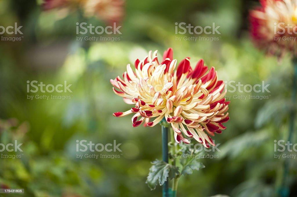 Crimson Red Bloom royalty-free stock photo