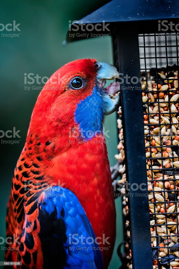 Crimson Rosella eating stock photo