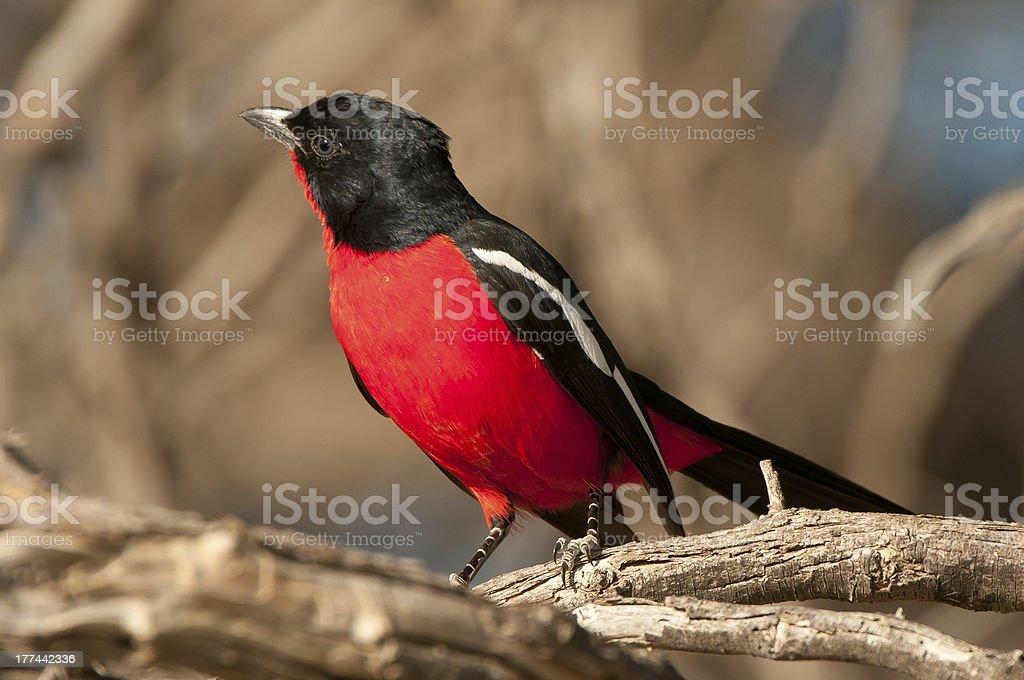 Crimson-breasted shrike stock photo