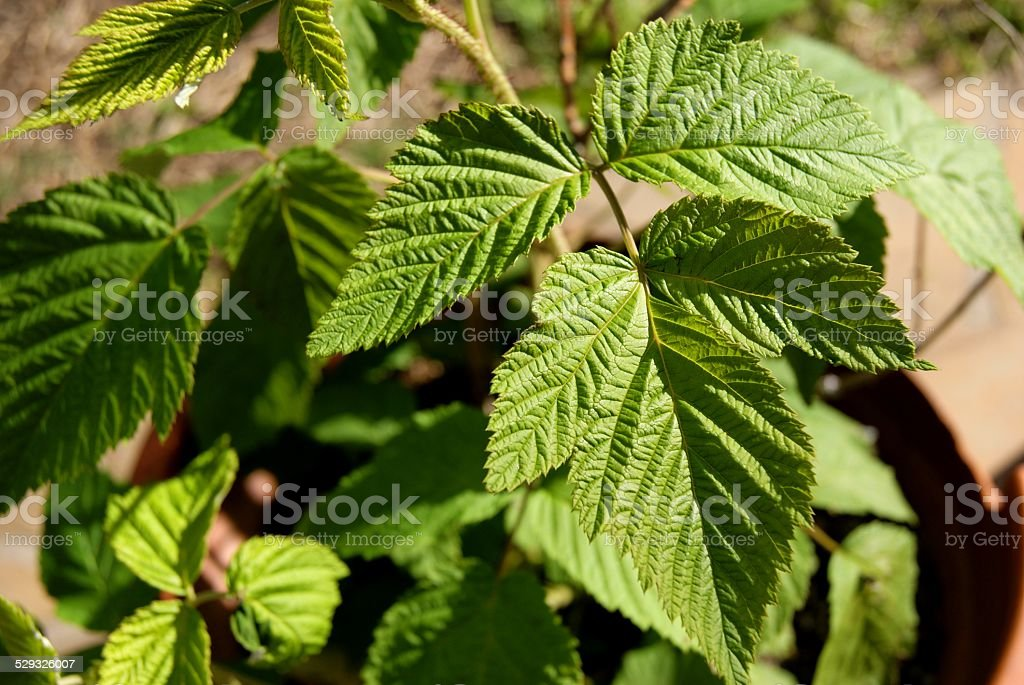 Crinkled Leaves royalty-free stock photo