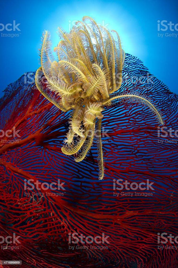 Crinoid - phylum Echinodermata in Fiji royalty-free stock photo