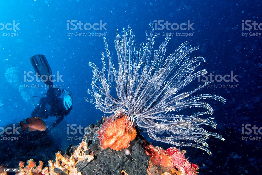 crinoid underwater while diving stock photo