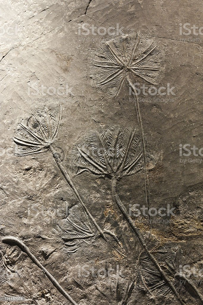 Crinoid(sea lily)fossil stock photo
