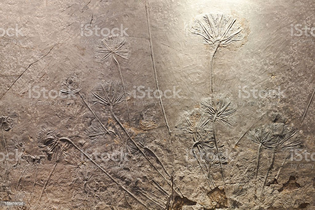 Crinoid(sea lily)fossil stock photo