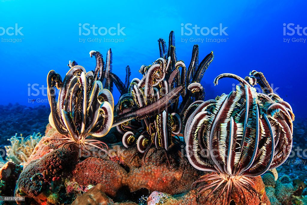 Crinoids on a tropical reef stock photo