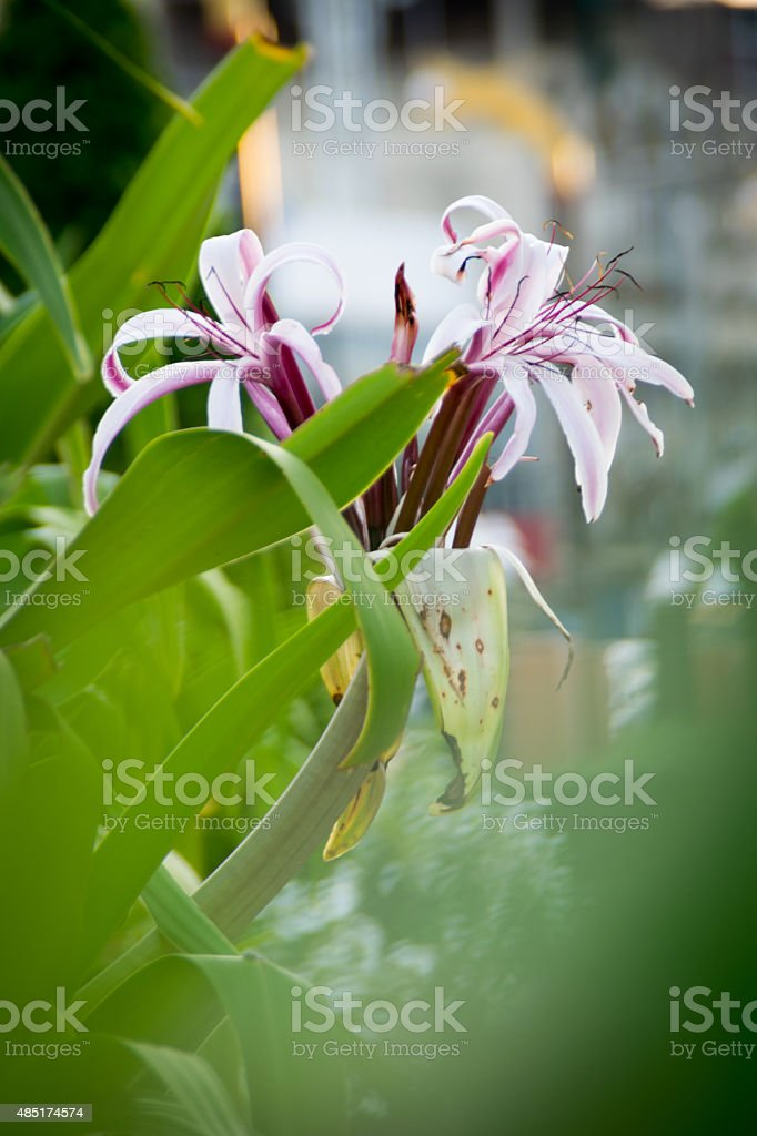 Crinum amabile Donn stock photo