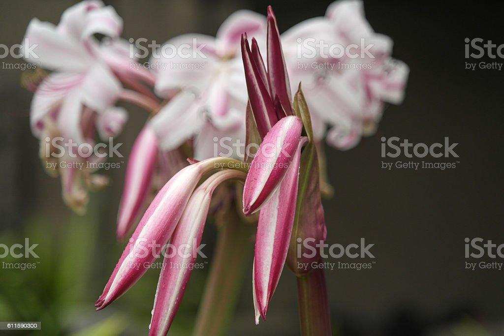 Crinum hybrid native to the Seychelles stock photo